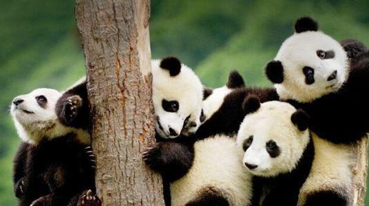 成都大熊猫繁育基地门票多少 里面有多少只熊猫?